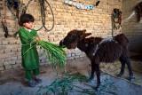 Feeding baby donkey - Mardan