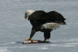 Eagle with Fish at Manning Lake - March 2010