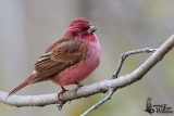 Adult male Pink-browed Rosefinch