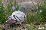 Adult Hill Pigeon