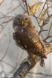 Adult Asian Barred Owlet