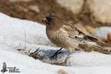 Adult Brandt's Mountain Finch