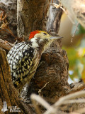 Male Yellow-crowned Woodpecker