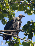 Adult White-rumped Vulture