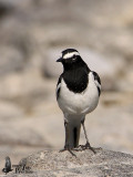 Adult White-browed Wagtail