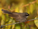 Adult White-throated Fantail (ssp. albicollis)