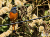 Male Blue-fronted Redstart