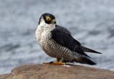 Peregrine Falcon (Falco peregrinus), Pilgrimsfalk