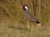 Red-wattled Lapwing (Rödflikvipa)