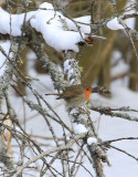 European Robin  Rödhake  (Erithacus rubecula)