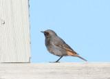 Birds in Sweden  Larks to Flycatchers