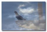 _MG_0738 pigeon nuages.jpg