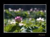 _MG_2747 nature fleur.jpg