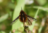 Bombylius major; Greater Bee Fly