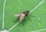 Rhagionidae Snipe Fly species