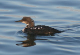 Pacific Loon; transitional plumage