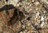 Bombylius Bee Fly species