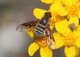 Paravilla syrtis; Bee Fly species