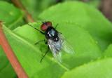 Chrysomya Hairy Maggot Blowfly species