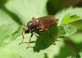 Coenomyia ferruginea; Xylophagidae Fly species