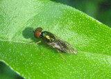 Microchrysa polita; Soldier Fly species