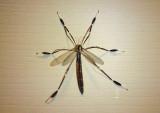 Bittacomorpha clavipes; Phantom Crane Fly