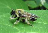 Laphria sacrator; Robber Fly species