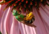 Agapostemon virescens; Sweat Bee species