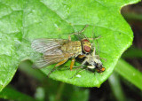 Scatophaga Dung Fly species