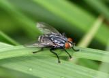 Sarcophaga Flesh Fly species