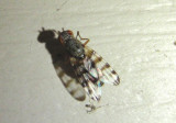 Pseudotephritina Picture-winged Fly species