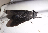 Tabanus atratus; Black Horse Fly; female