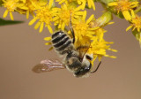 Megachile Leafcutting Bee species
