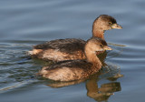 Pied-billed Grebes; basic