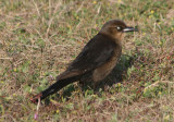 Boat-tailed Grackle; female