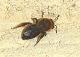 Colletes thoracicus; Cellophane Bee species