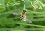 Toxomerus geminatus; Flower Fly species; female