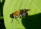 Pterallastes thoracicus; Syrphid Fly species