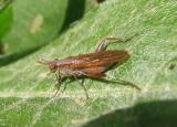 Sepedon Marsh Fly species