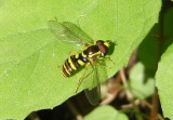 Xanthogramma flavipes; Syrphid Fly species