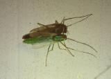 Axarus Midge species