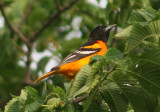 Baltimore Oriole; male