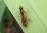 Platycheirus Syrphid Fly species
