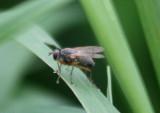 Coenosia Tiger Fly species