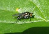 Dolichopus Long-legged Fly species