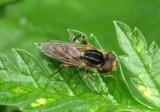 Lejops lineatus; Syrphid Fly species