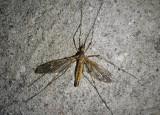 Lunatipula Large Crane Fly species
