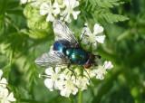 Gymnocheta Tachinid Fly species