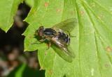 Anasimyia Syrphid Fly species