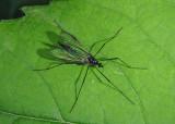 Gnophomyia tristissima; Limoniid Crane Fly species